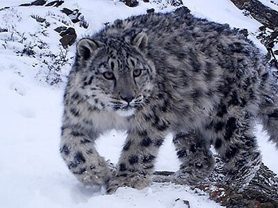 snow leopard photography tour